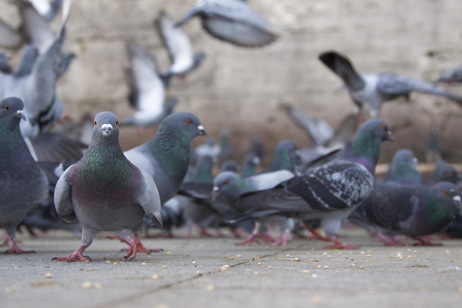 Flock of pigeons eating on the floor