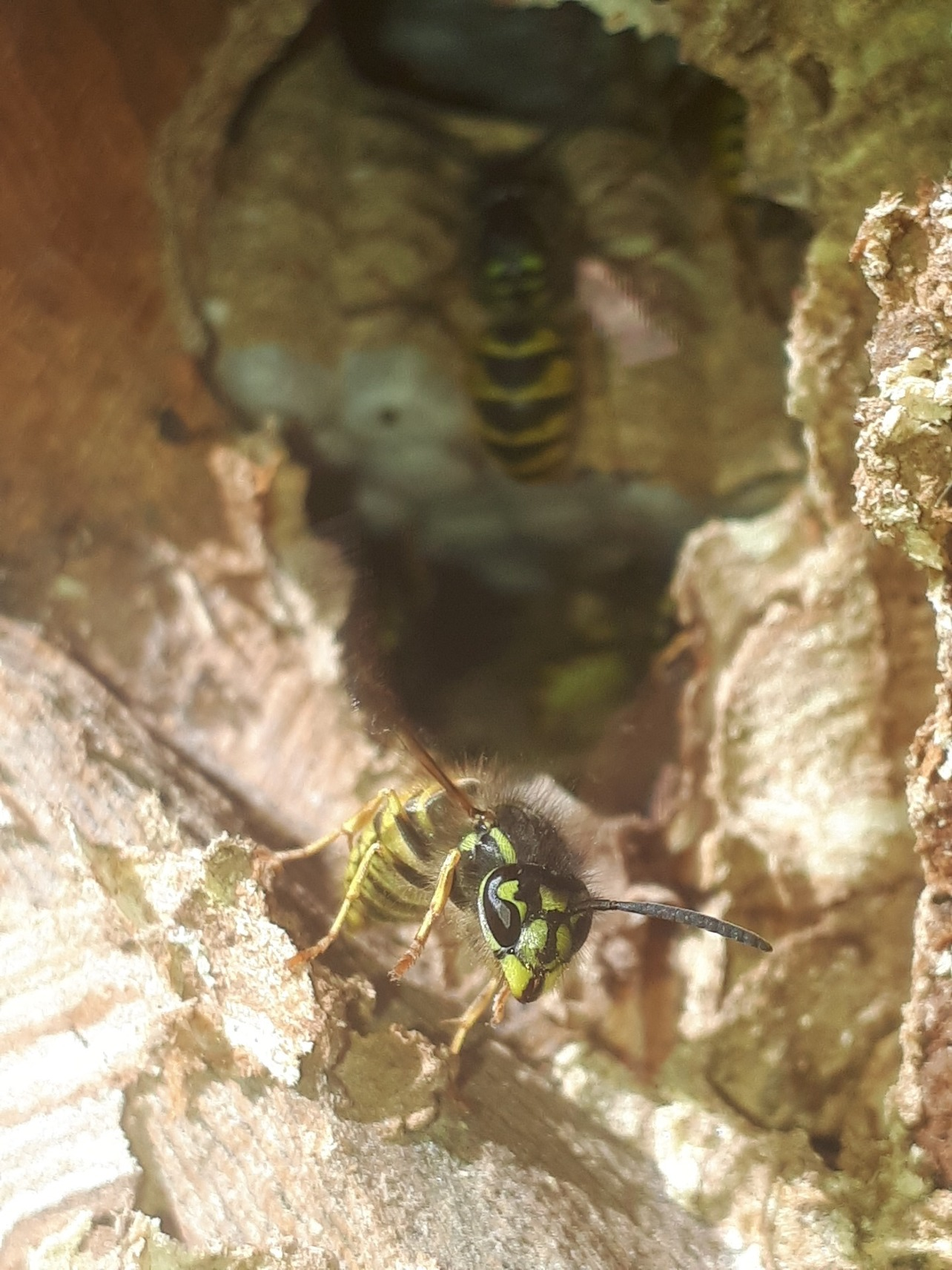 Wasps in a nest