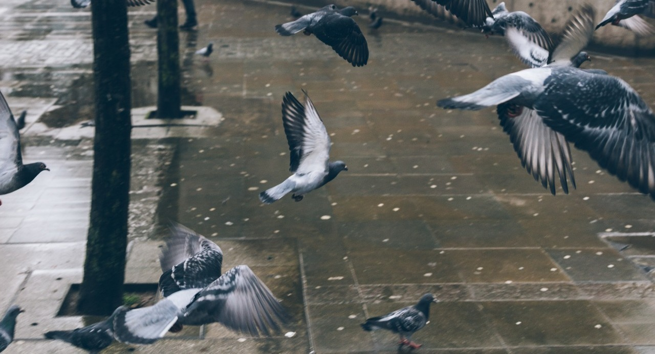 Pigeons flying in the rain