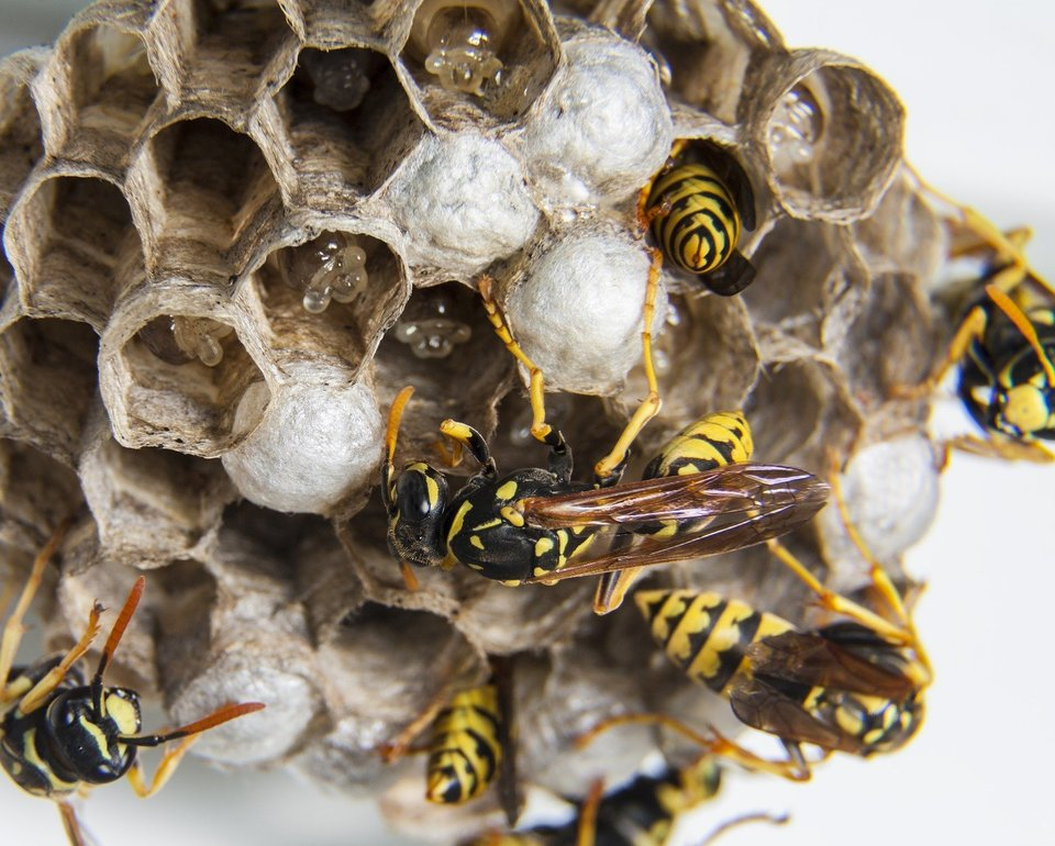 Wasps busy in their nest