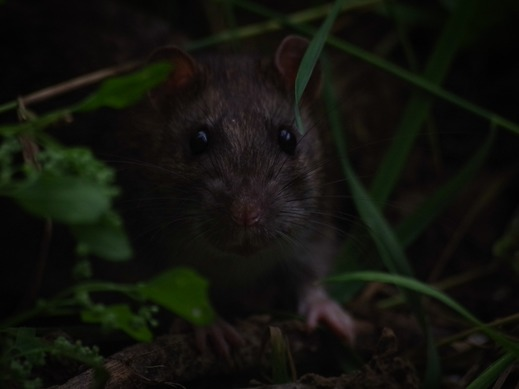 Rat outside at night